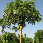 793130_papaya_tree_2